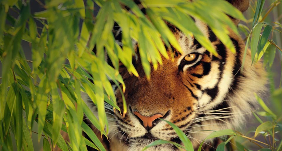 Lurking Tiger in the Internet Jungle